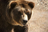 Grizzly bear head — Stock Photo