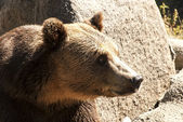 Grizzly bear head right profile — Stock Photo
