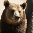 Grizzly bear head full face — Stock Photo
