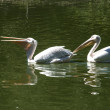 Two pelicans one after another — Stock Photo