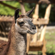 Lama head right profile — Stock Photo