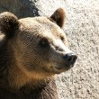 Grizzly bear head right profile — Stock Photo #13437834