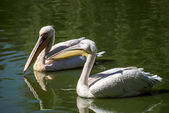 Two pelicans close together — Stock Photo