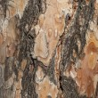 Spruce tree bark closeup — Stock Photo