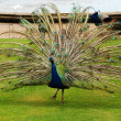 Male peacock in park — Stock Photo #19899855