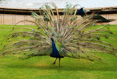 Male peacock in park — Stock Photo