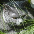 Grey cat head closeup — Stock Photo
