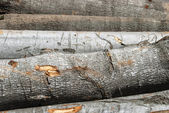Beech wood cut logs — Stock Photo