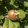 Fresh medlar fruit — Stock Photo