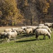Herd of sheep on mountain pasture — Stock Photo