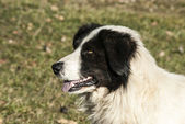 Shepherd dog head — Stock Photo