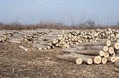 Cortar logs de poplar — Fotografia Stock