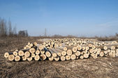 Cut poplar logs — Fotografia Stock
