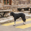 Stock Photo: Mongrel dog standing on crosswalk