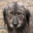 Stock Photo: Dog head wet by rain