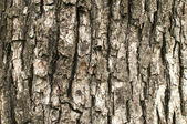 Old pear tree bark closeup — Stock Photo