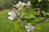 Apfel baum blüht closeup — Stockfoto