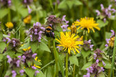 Dandelion, nettles and bumblebee — Stock Photo