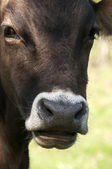 Cow head closeup — Stock Photo