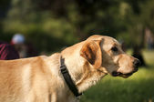 Yellow labrador dog closeup — Stockfoto