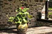 Ceramic flowerpot with geraniums — Stock Photo