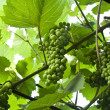 Stock Photo: Green grapes close-up from vineyard