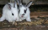 Feeding rabbits on animal farm in rabbit-hutch — Stock Photo