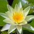 White water lily — Stock Photo #13530606