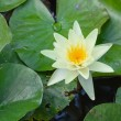 White water lily — Stock Photo #13530667