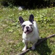 Foto Stock: French Bulldog