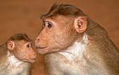 Indian monkey — Stock Photo