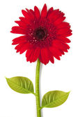 Red gerbera flower — Photo