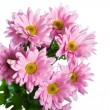 Pink chrysanthemum  flower - Photo