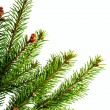 Christmas  spruce branch — Stock fotografie