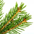 Christmas  spruce branch - Photo
