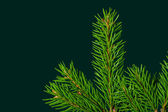 Christmas spruce branch — Stockfoto