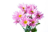 Pink chrysanthemum flower — Stock Photo