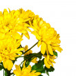 Yellow chrysanthemum  flowe — Stock Photo