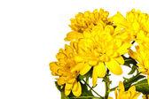 Yellow chrysanthemum flowe — Stock Photo
