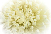 White chrysanthemum flower — 图库照片
