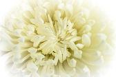 白菊花花 — 图库照片