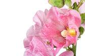 Pink mallow — Stock Photo