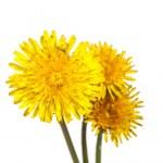 Yellow dandelion flower — Stock Photo #41012059