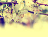 Branch with cherry flowers — Stock Photo