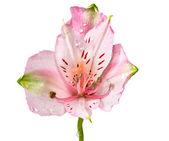 Alstremeria różowe kwiaty — Zdjęcie stockowe