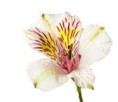 Alstremeria kwiaty — Zdjęcie stockowe