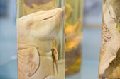 Baby whale fetuses preserved in alcohol — Stock Photo