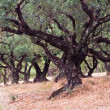 Stock Photo: Old olive trees