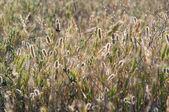 Gras en tarwe textuur — Stockfoto