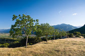 Young olive trees in Greece — Stock Photo